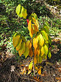 Asimina triloba autumn leaf color 2012.jpg
