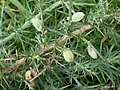 Asphondylia ulicis on Common Gorse Ulex europaeus (25808853228).jpg