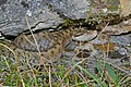 Aspic Viper (Vipera aspis zinnikeri) adult female (10114093783).jpg