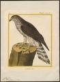Astur palumbarius - 1700-1880 - Print - Iconographia Zoologica - Special Collections University of Amsterdam - UBA01 IZ18300013.tif