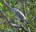 Asturina nitida-- A Grey Hawk (24328217809).jpg