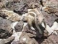 Atlantoxerus getulus - Montana Colorada - chipmunk - Streifenhörnchen - Lajares - montana de la Mancha - calderon Hondo - Fuerteventura - 72.jpg