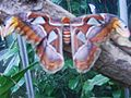 Attacus atlas-botanical-garden-of-bern 6.jpg