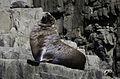 Australian Fur Seal (33299917972).jpg