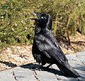 Australian Raven Sydney University.jpg
