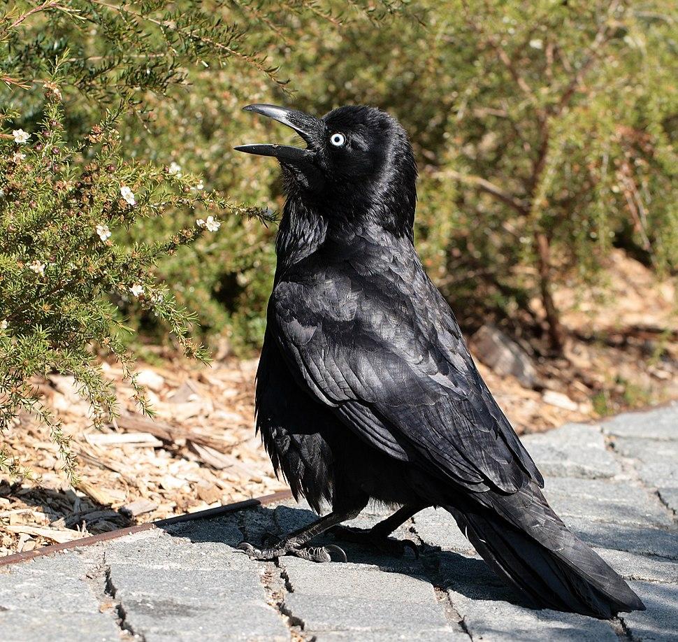 Australian Raven Sydney University
