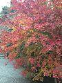 Autumn Leaves in Ryoanji Temple.jpg