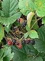 Autumn fruits - geograph.org.uk - 560853.jpg