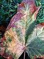 Autumn leaf - Flickr - MelisaTG.jpg