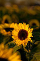 Autumn sunflower (5069403398).jpg