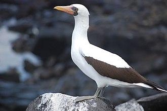 Booby - Image: Ave en las islas Galápagos