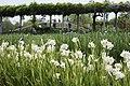 Ayame (iris) garden in Sawara - panoramio.jpg