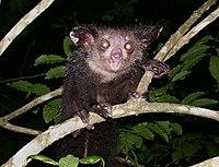 Aye-aye (Daubentonia madagascariensis) 2.jpg