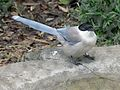Azure-winged Magpie RWD4.jpg