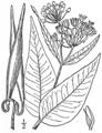 BB-3386 Asclepias rubra.png