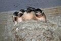 Baby Barn Swallows - Flickr - GregTheBusker.jpg