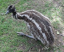 Emu chicks have distinctive bilateral stripes that help to camouflage them.