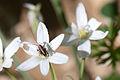 Baby grasshopper in flower (8429400567).jpg