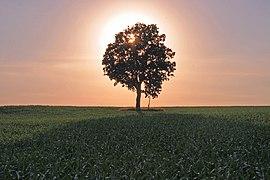 Backlit tree, Wisconsin.jpg
