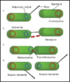 Bacterial Conjugation Spanish.png