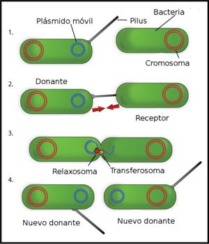 Conjugación procariota