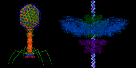 Bacteriophage t4 and pack machine wiki.png
