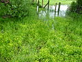 Badgeworth buttercup marsh flowering 2012.jpg