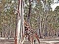 Badoca Hidden Giraffe (202603291).jpeg