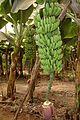 Banane (2).JPG