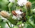 Banded Longhorn Beetle (Typocercus velutinus).jpg