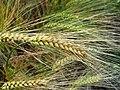 Barley Crop - geograph.org.uk - 26237.jpg
