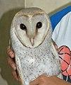 Barn Owl Tyto javanica by Dr. Raju Kasambe (6).jpg