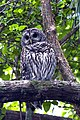 Barred Owl, NPS Photo, Rodney Cammauf (8721200846).jpg