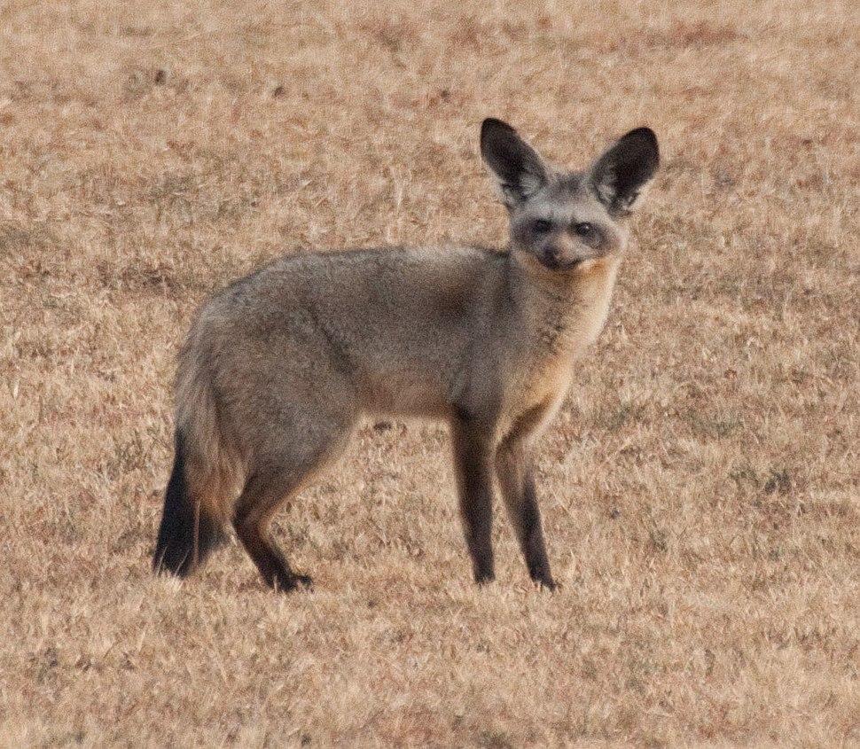 Bat eared fox Kenya crop