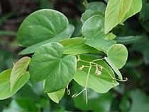 Bauhinia japonica Hakamakz01.JPG