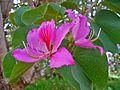 Bauhinia variegata 001.JPG