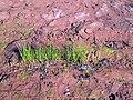 Beach Grass, New London Bay, PEI (19970836129).jpg