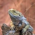 Bearded dragon (AP4N2781 1PS) (43194410254).jpg
