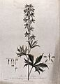 Bee Larkspur (Delphinium sp. var.); flowering stem with sepa Wellcome V0042987.jpg