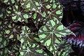 Begonia (25).jpg