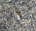 Bembix olivacea - Flickr - gailhampshire.jpg
