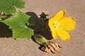 Benincasa pruriens in Guangfeng 2012.10.27 13-03-03.jpg