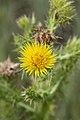 Berkheya sp. (Asteraceae) (4756628163).jpg