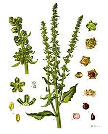 Beta vulgaris - Köhler–s Medizinal-Pflanzen-167.jpg