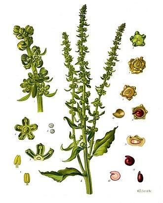 Beta vulgaris - Beta vulgaris subsp. vulgaris