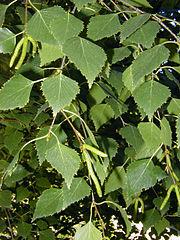 Breza previsnutá - listy a jahňady