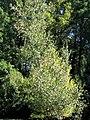 Betula platyphylla Whitespire 0zz.jpg