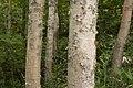 Betula platyphylla var. japonica 02.jpg