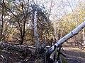 Betulle bianche (Betula pendula) alla Caldara di Manziana (Monumento Naturale) dopo due mesi ed alcuni temporali. Fomitopsis betulina su alcuni tronchi.jpg