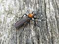 Bibio anglicus (Bibionidae sp.), Arnhem, the Netherlands - 3.jpg